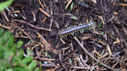 Medium Of How To Get Rid Of Millipedes
