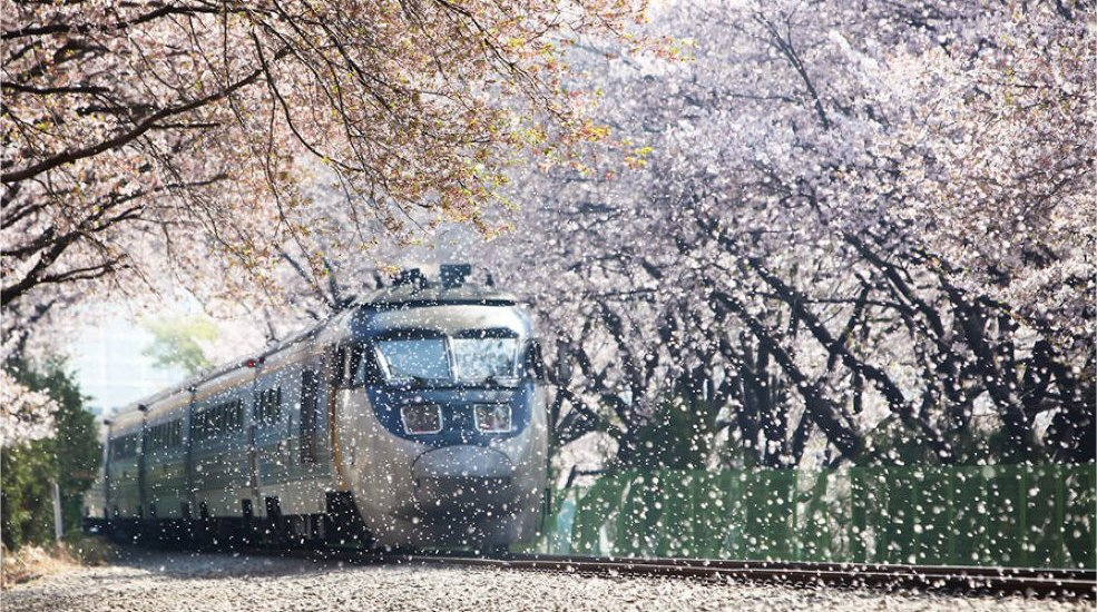 Train rolling through cherry blossoms in South Korea