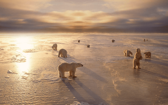 Polar Bears on Hudson Bay, Canada