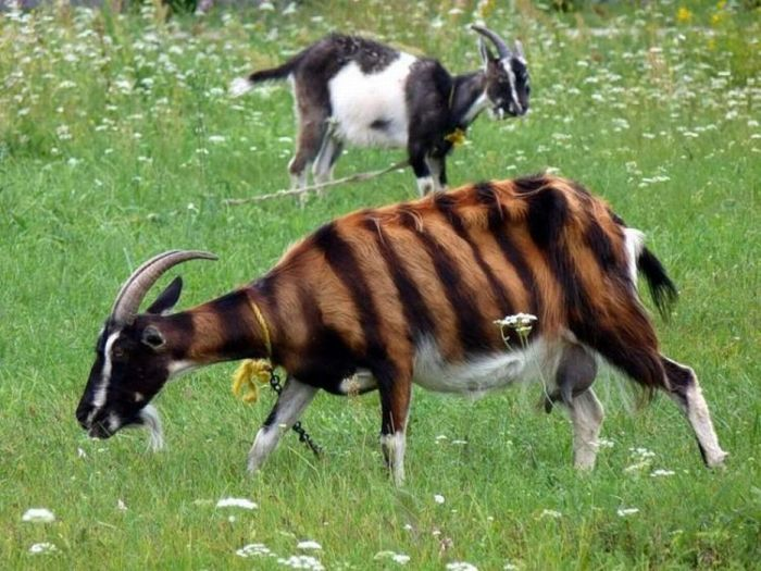 Cute Baby Tiger Wallpaper Striped Goat 1funny Com