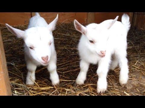 Cute Attitude Wallpaper Cute And Funny Baby Goats 1funny Com