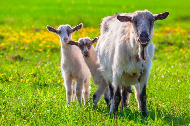 Goat Breeding [Chapter 6] Raising Goats | Homestead Handbook