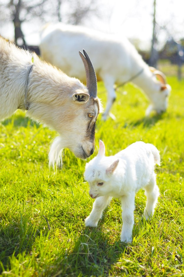 Goat Gestation and Kidding [Chapter 7] Raising Goats | Homestead Handbook