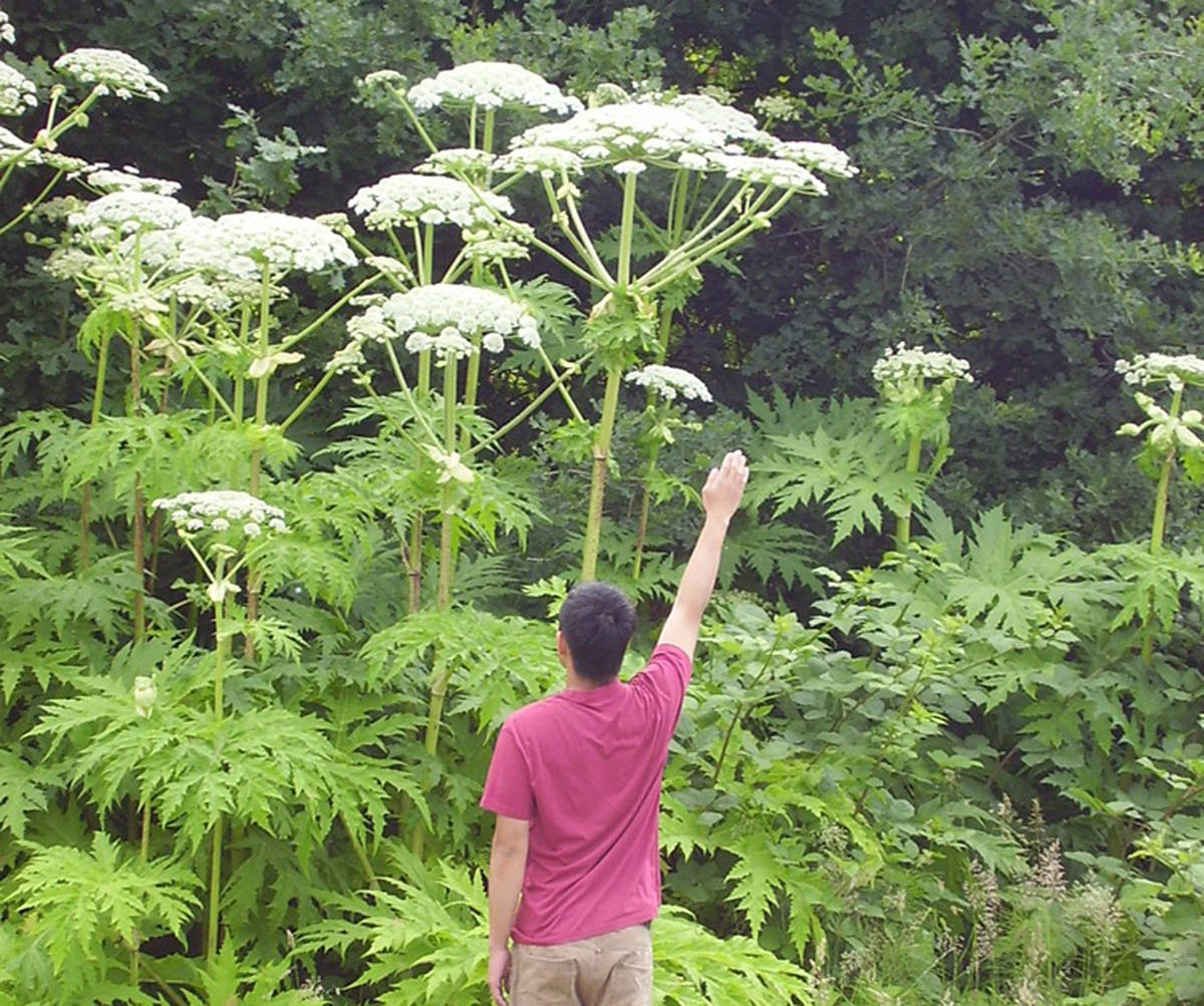 Giant Hog Weed Toxic Giant Hogweed Plants Show Up In Duncan – Vancouver