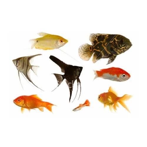 Aqua Culture Color Fish - Color Fish Exporter from Chennai