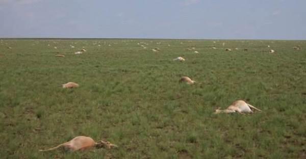 1-Antelopes-Dead