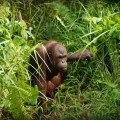 "Indonesian Borneo is Finished: The ""Rape"" of the Orangutan"