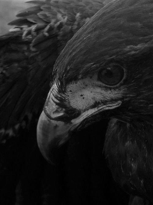 Angel Falls Wallpaper Hd Black And White Horror Animal Dark Nature Bird Raven