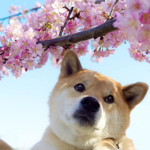 Cute Corgi Puppies Wallpaper Japan Cherry Blossom Spring Sakura Shiba Inu Sakura