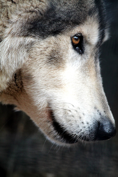 Wolf Side View Animals ♥ Pinterest Wolf, Animal and Creatures - küche in l form