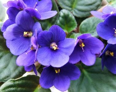 african violet flower