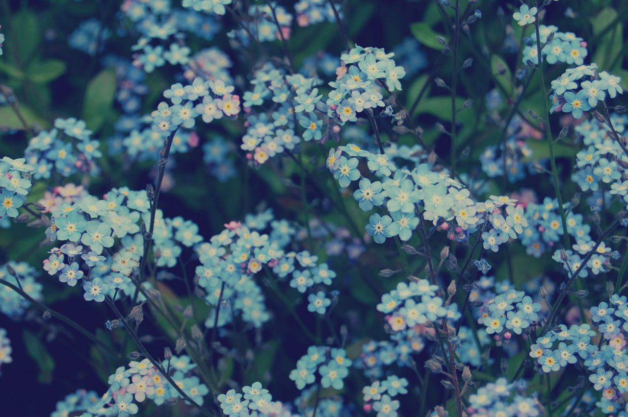 Plants Tumblr Blue Flowers Nature Forget Me Not Sci Universe
