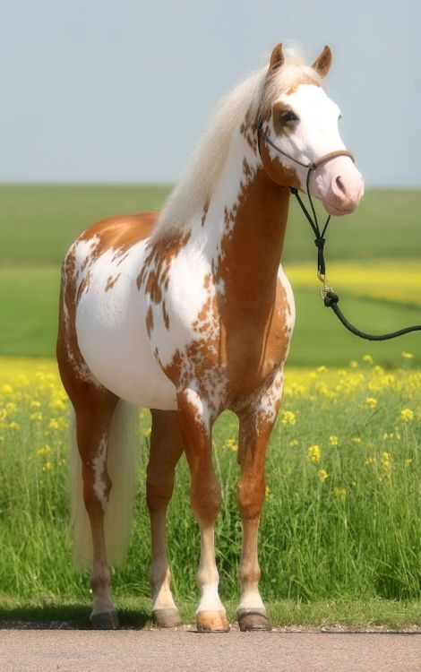 Meet the American Paint Horse American paint horse, American - free horse bill of sale