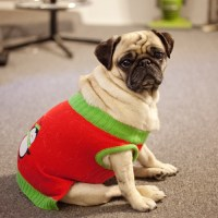 pug in clothes on Tumblr