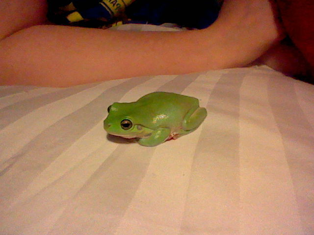 Funny Frog Wallpaper Quotes And Pictures Sleepy Frog Amphibian Dumpy Tree Frog White S Tree Frog