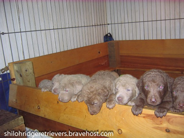 Thunder Tule Puppies 2008--Photo Credit Shiloh Ridge Retrievers