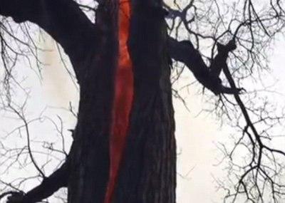 【悪魔の木】内部が真っ赤に大炎上してる不思議な木 ※動画・GIF画像※