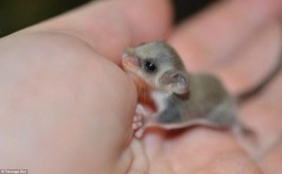世界最小のモモンガの赤ちゃんがぐうカワイイ ※画像※ 珍獣チビフクロモモンガ