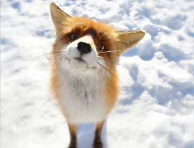 動物たちの決定的瞬間オモシロ画像…雪に刺さったキツネが発見される