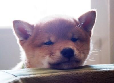 柴犬の赤ちゃんの可愛さは異常<動画>柴子犬の謎リアクション