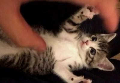 【和む】お腹を撫でられた子猫の反応が可愛すぎるwwwwwwwwww
