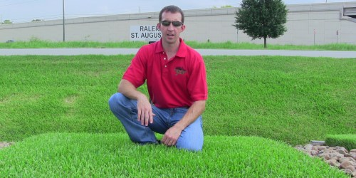 Medium Of St Augustine Sod