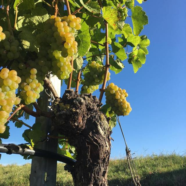 Porno grapes heimatsilvaner thedayhascome harvest2016