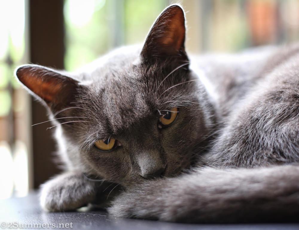 Smokey Melville Cat