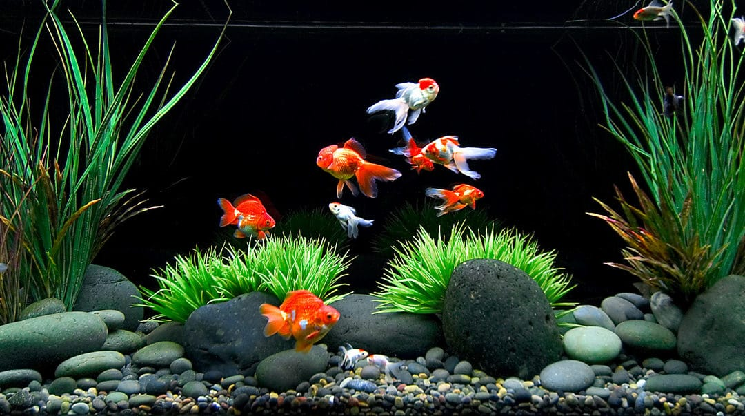 Asus 3d Wallpaper Hd How To Care For A Goldfish Top Tips Amp Myths Pet Territory