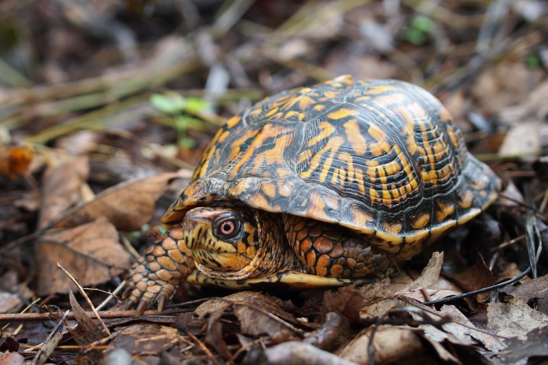 Turtles That Stay Small Finding The Perfect Pet Turtle