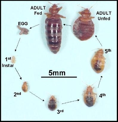 Bed Bugs Treatment, Bed Bugs Control in Mumbai, ASK Anush ID