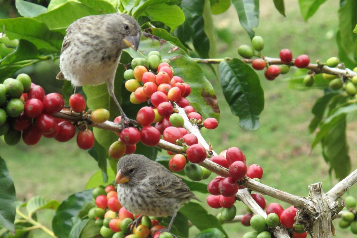 Coffee Arabica News Arabica Vs Robusta Which Trees Are Better For The Birds