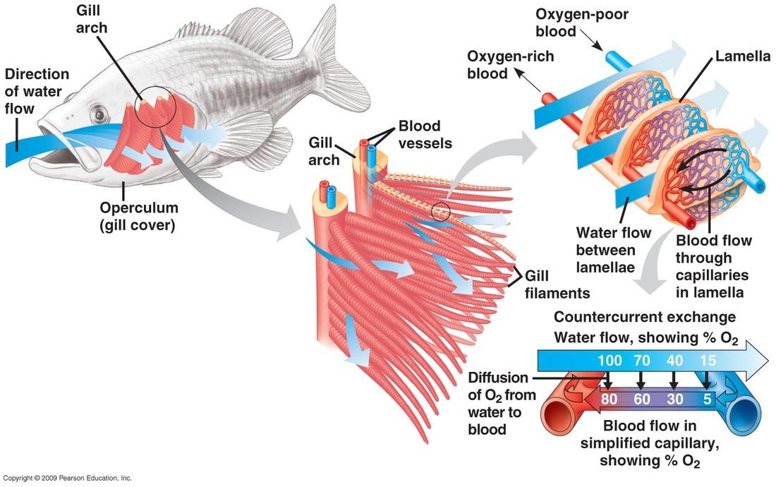 Fish - Gas Exchange