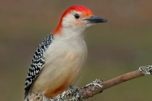 Red-bellied Woodpecker perched on a branch.