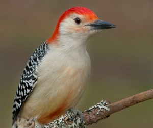 Birds of Barrington with Wendy Paulson: Red-bellied Woodpecker