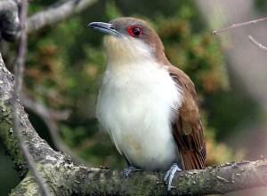 Black Billed Cuckoo - Featured