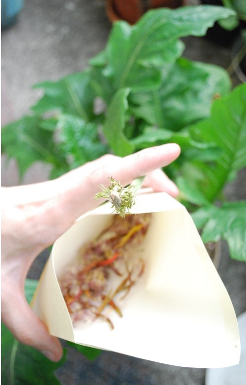 Medium Of Gerbera Daisy Seeds