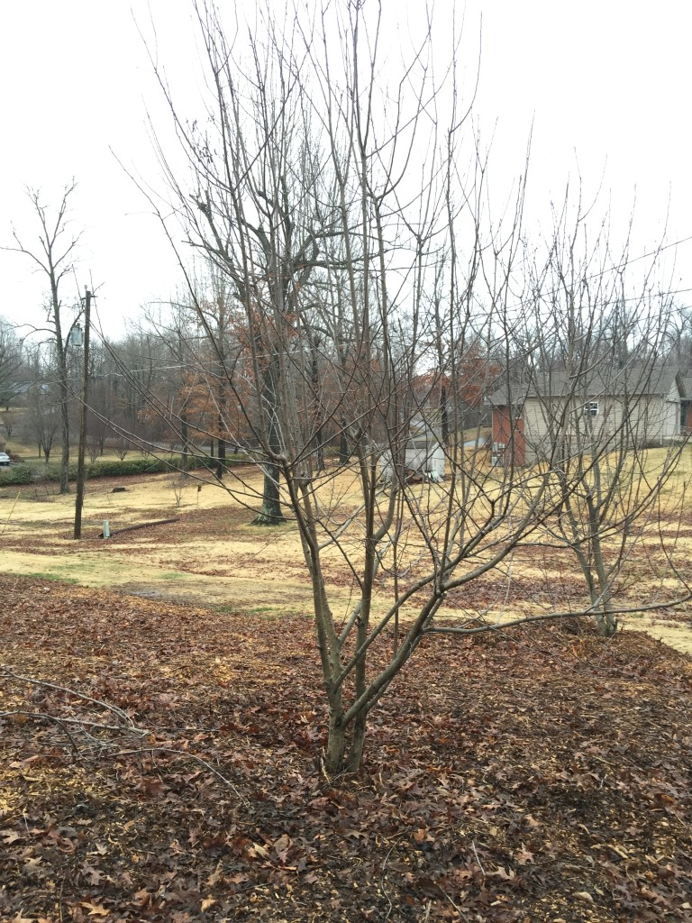Apple Trees - Before Pruning