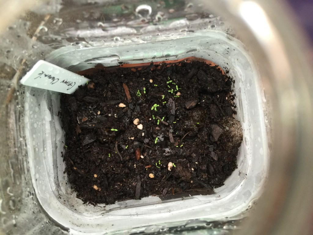 Winter Sowing Sprouts