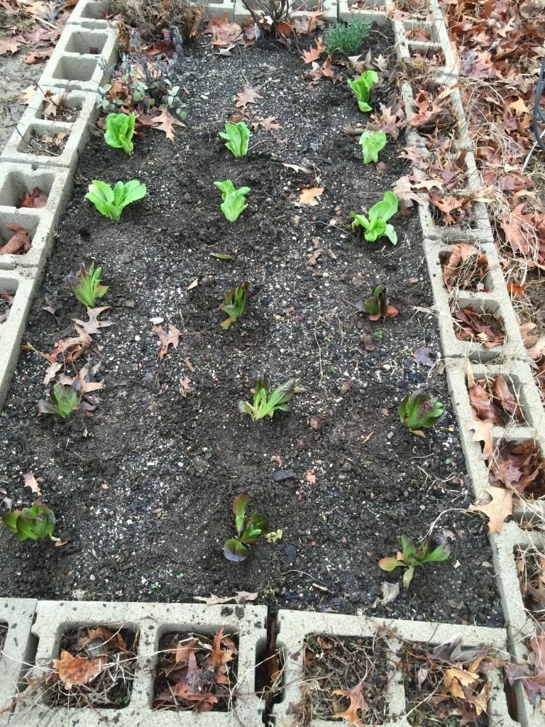Lettuce in the Raised Bed