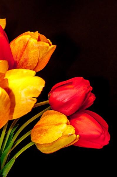 Tulips edited in Lightroom