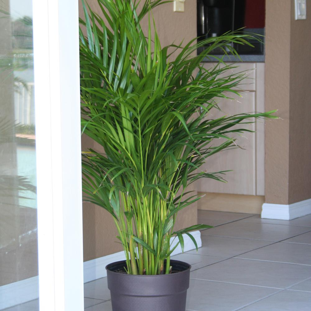 Home Depot Palm Trees Plants That Will Help Keep Your House Cool Simplemost