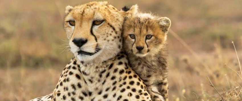 Animal Planet Wallpaper Nat Geo Wild Launches Eighth Annual Big Cat Week With