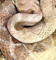 "Diamondback Rattlesnake 8"" x 12"""
