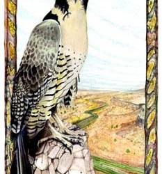 """Peregrine Falcon 10"""" x 15"""""""