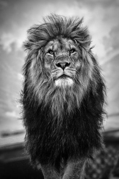 HD Wallpaper iPhone King Lion | 2019 3D iPhone Wallpaper