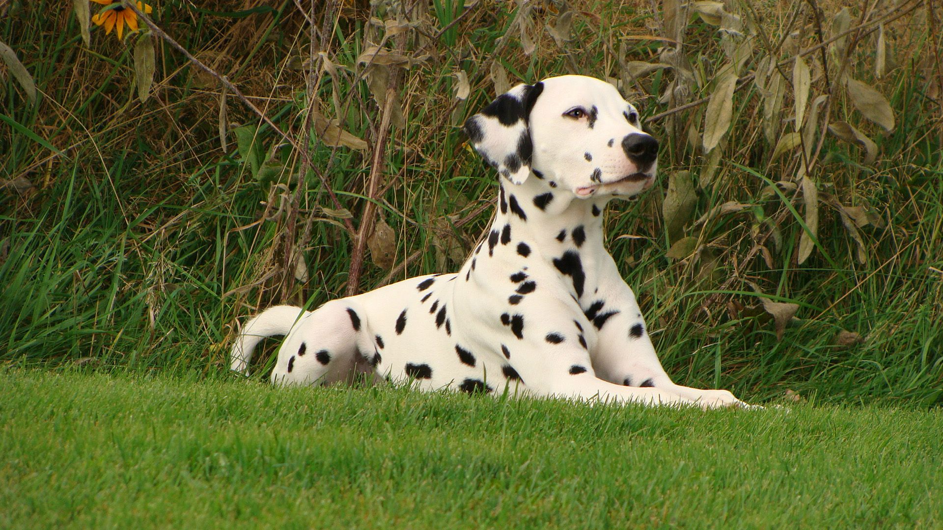 How Dalmatians Became The Firehouse Mascot
