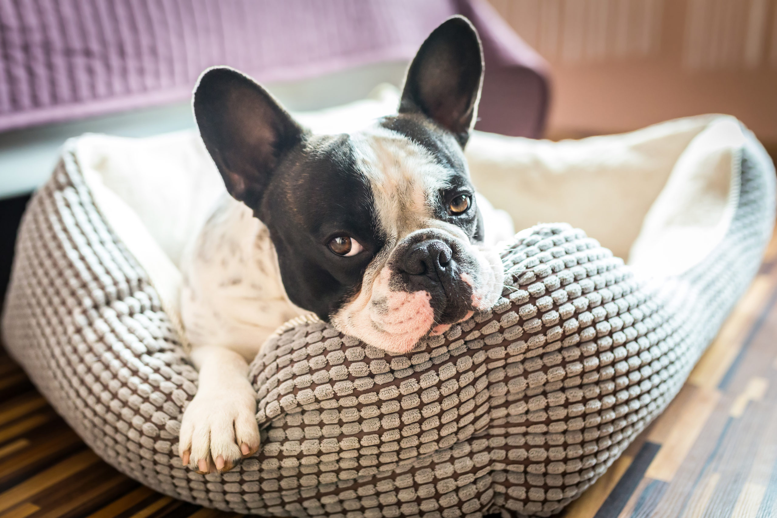 Best Dog Breeds For Apartment Living The Delite