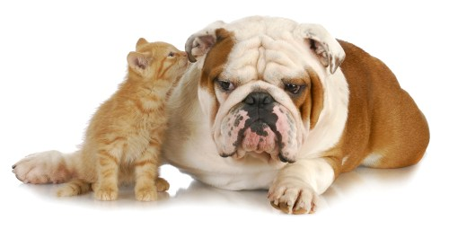 Genial Mange Cats Dog Kitten Whispering Into English Bulldogs Ear O Home Remedies Cat Dogs Full Guide Dog Licking Butt After Diarrhea Dog Licking Bottom All Time