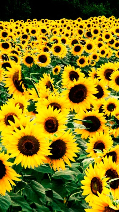 sunflower iphone wallpaper | Tumblr